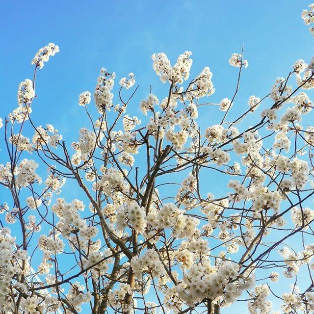 サクラ!早咲きの桜は、すでに咲き乱れています~#sakura #kyoto #spring #flower #cherryblossom